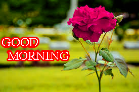 Good Morning Images Wallpaper Pics With Red Rose