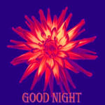 flower good night images wallpaper pictures free hd download