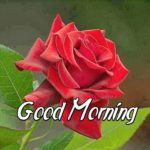 Red rose good morning images wallpaper pictures free download