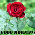 Red rose good morning images wallpaper pics hd download