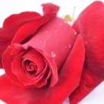 Red rose good morning images wallpaper pictures photo hd download