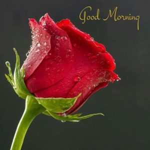 Red rose good morning images pictures photo download