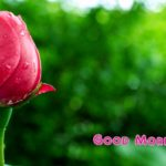 Red rose good morning images photo wallpaper free download