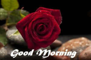 latest Red rose good morning images pictures free download