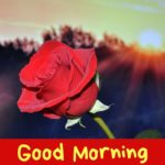 Red rose good morning images pictures wallpaper photo hd download