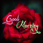 Red rose good morning images wallpaper photo free download