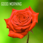 Red rose good morning images photo wallpaper hd download