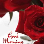 Red rose good morning images pictures wallpaper hd download