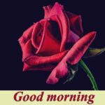 Red rose good morning images photo wallpaper free hd